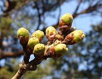 200px-Prunus_Sprout_Sakura20080405.jpg